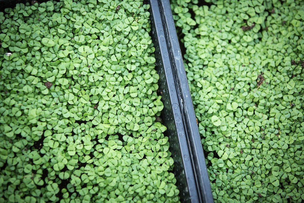 Basil micro greens Growing