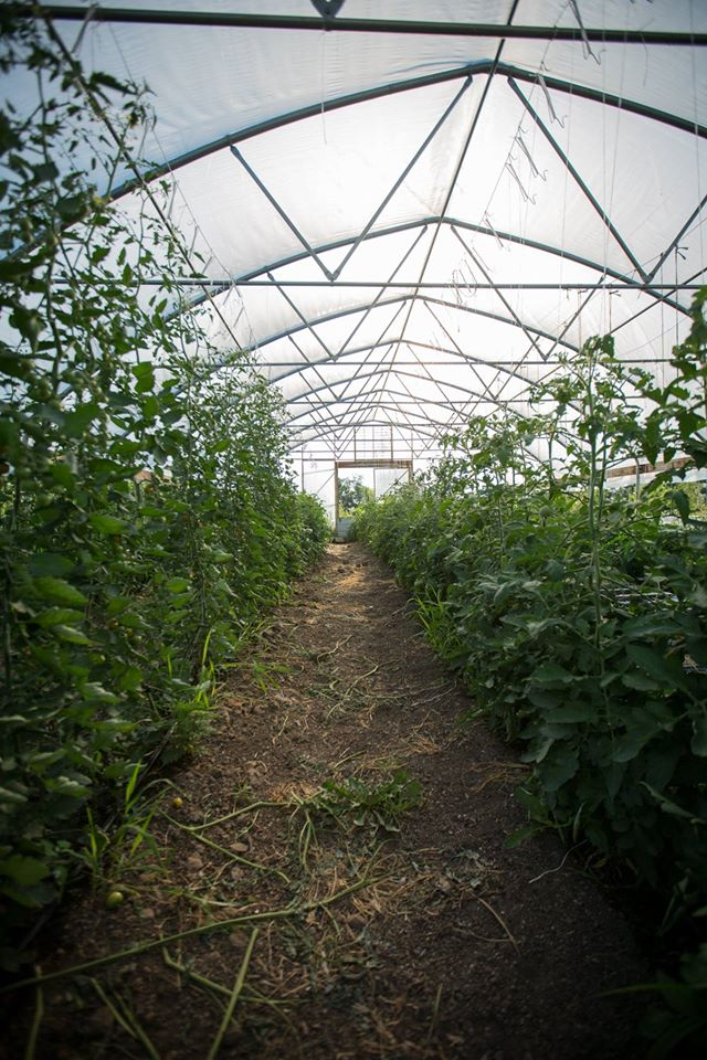 Hoop house with tomatoes