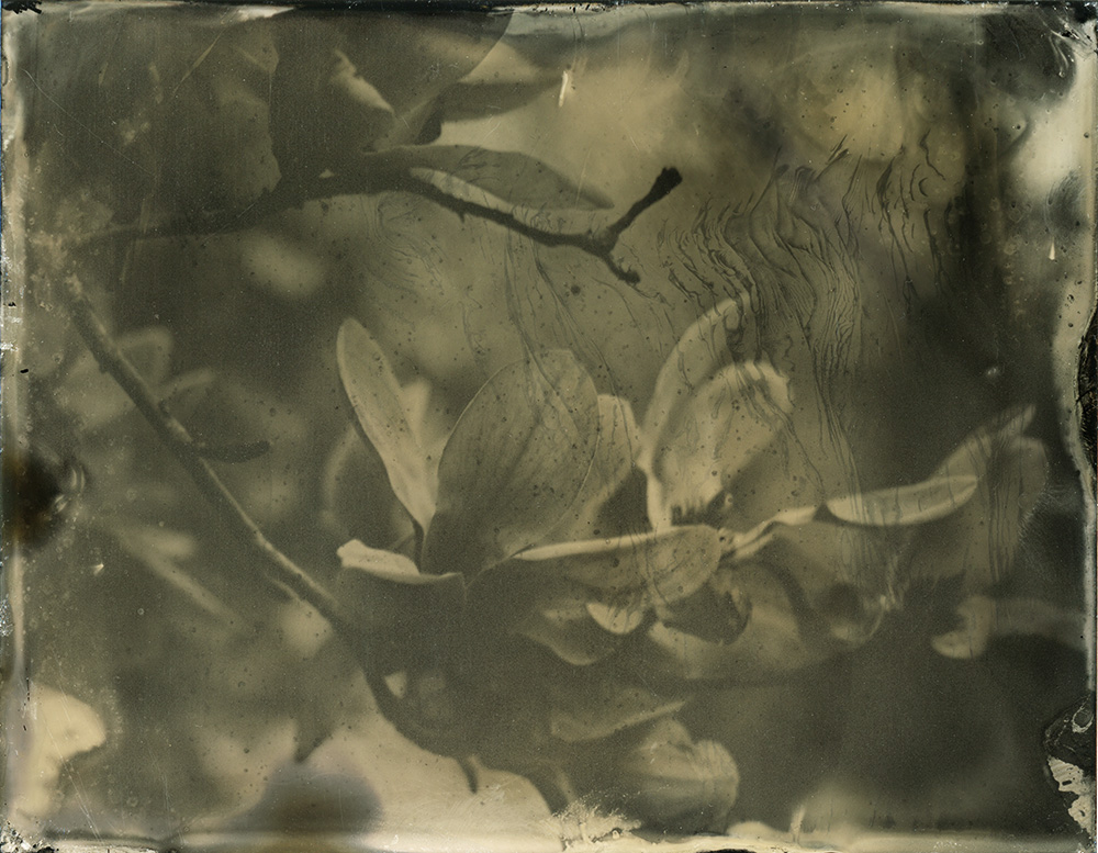 Wet_Plate_Magnolia_004_small.jpg