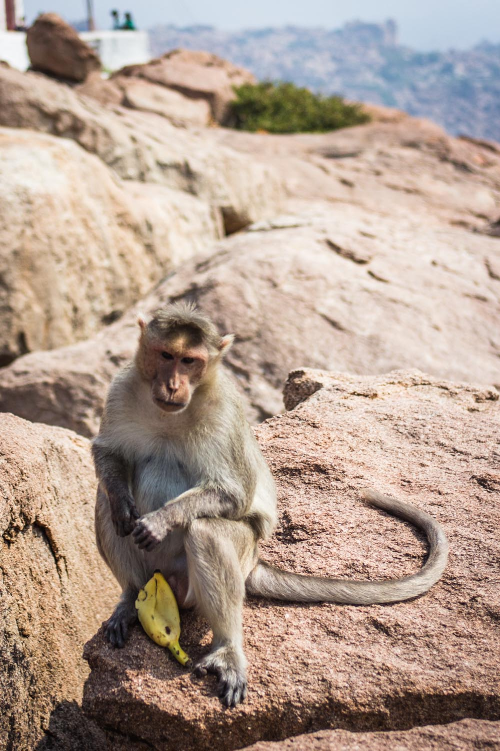 Monkey at the Hanuman Temple