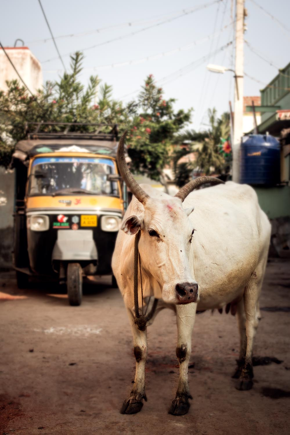 Tuk-Tuk & the Cow