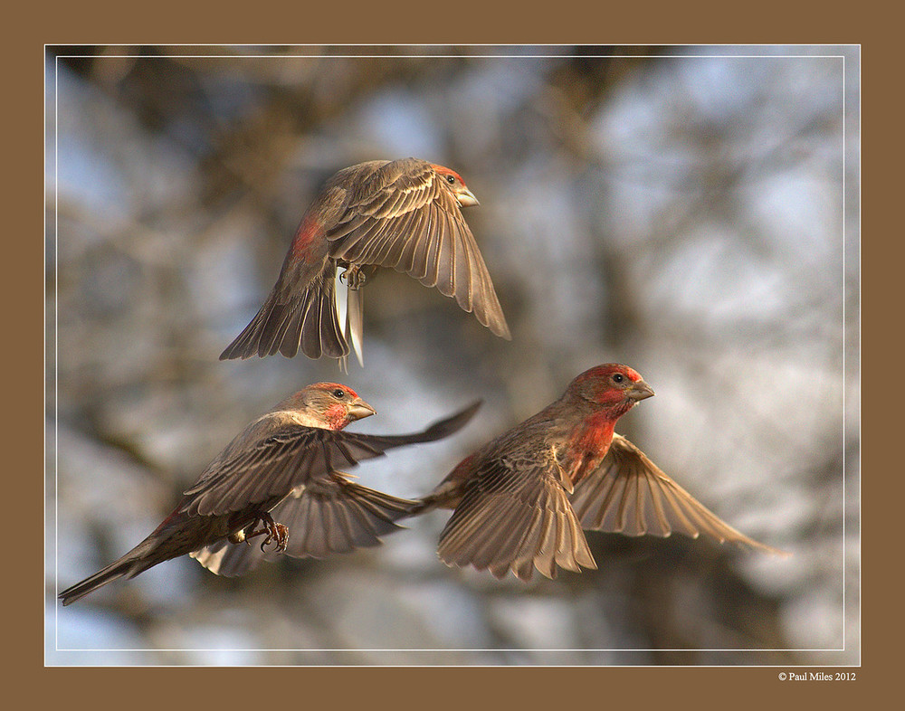 Male House Finch Flight Sequence 20120129 017-X2.jpg