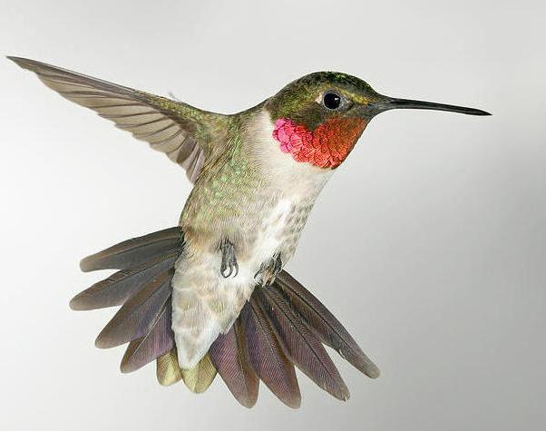 Ruby-throated Hummingbird3.jpg