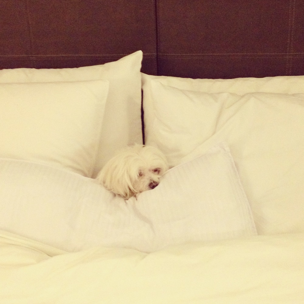 Back to the hotel after a long, hard day work at the show, Mochi tucked herself in comfortably.