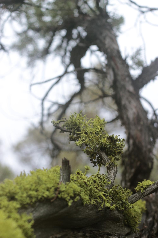 lichen-juniper