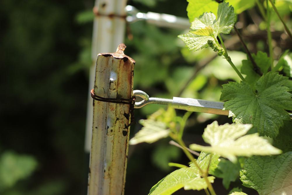spring-grapes