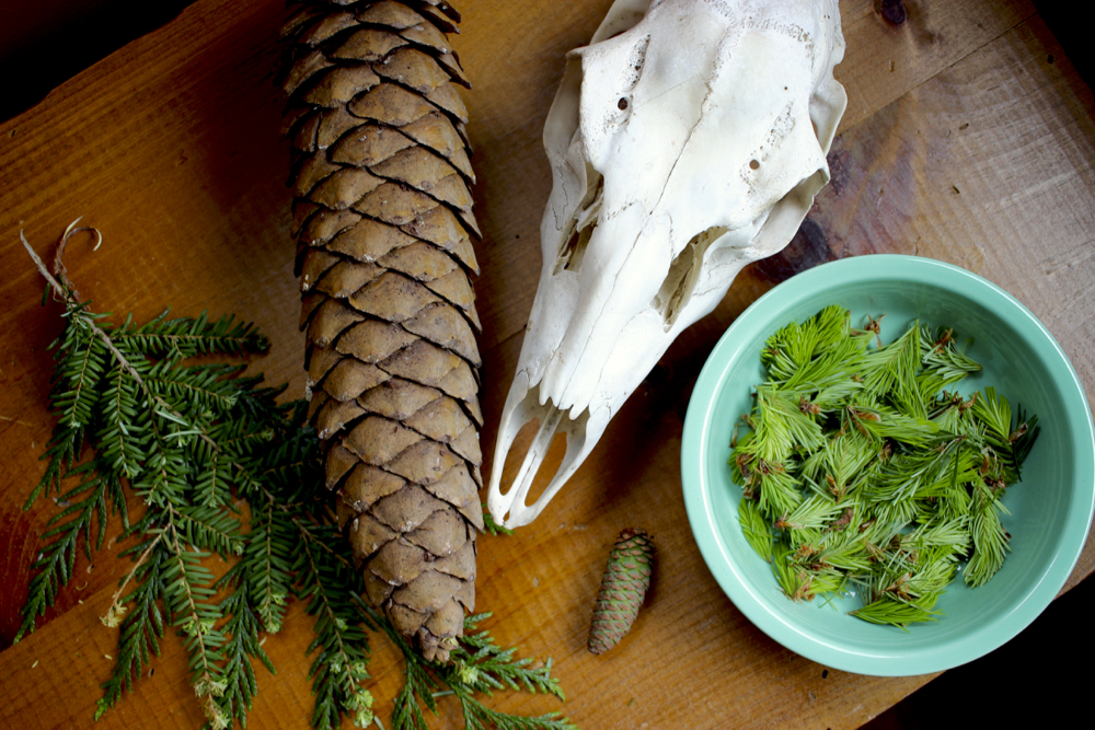 sugar-pine-cone
