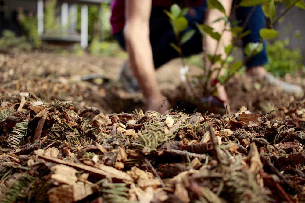 Planting Chokeberry