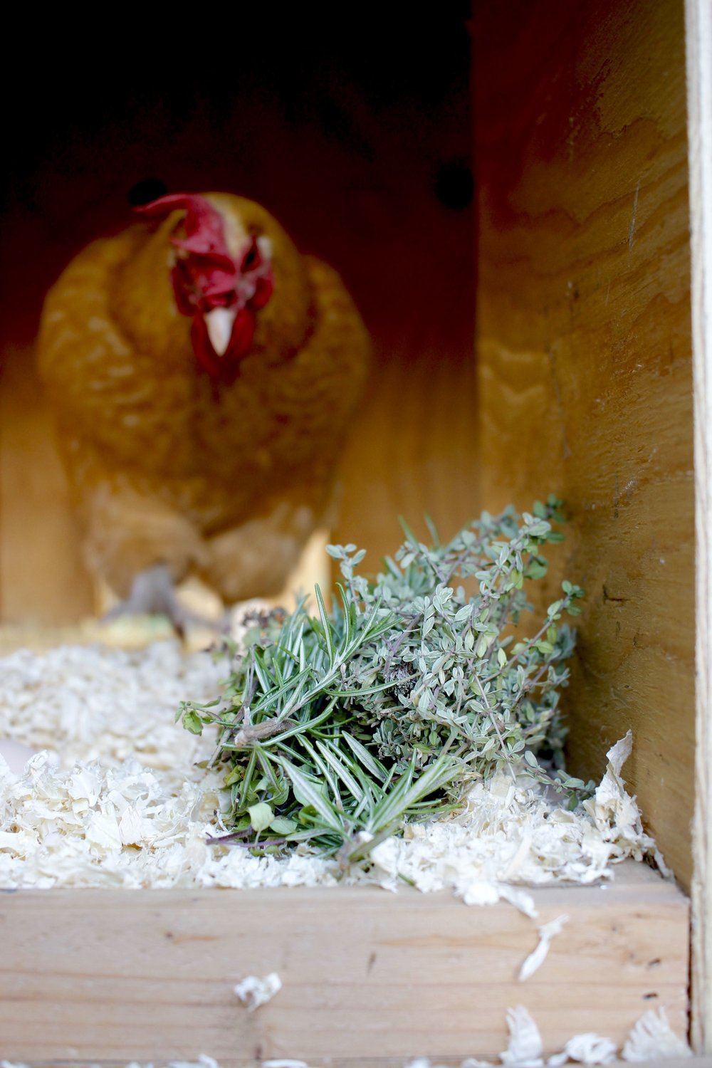 Kitty Wells the Buff Orpington gets curious about the nesting box herbs