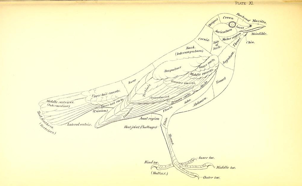 Robert Ridgway bird diagram, from Nomenclature of Colors for Naturalists, 1886
