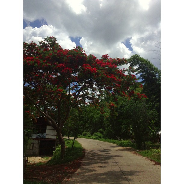 Red flowering tree.jpg