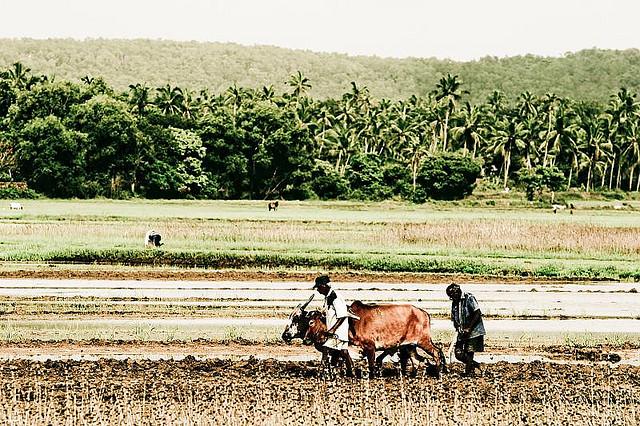 49 Ploughing in Goa.jpg