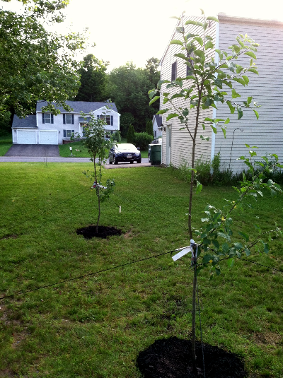 our new apple trees | hello, sweetie!