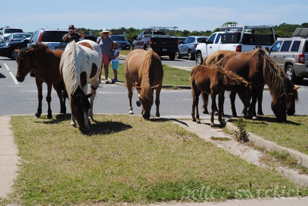 The wild horses of Assateague Island, roaming beaches and parking lots alike.