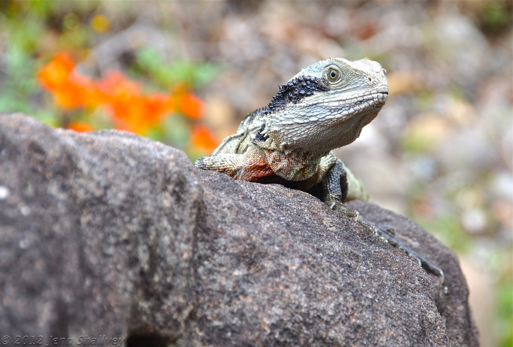 Eastern Water Dragon in backyard