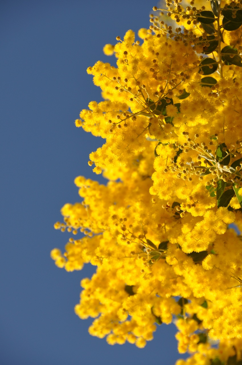 Need to brighten your day? Try some Wattle...