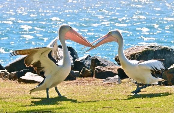 dueling pelicans.jpg