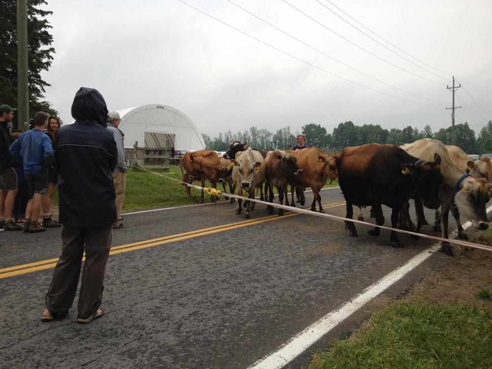 About a mile down the street is  North Country Creamery  at Clover Mead Farm, also in its first year of production. Twice a day, twelve Jerseys hold up traffic as they come out of the pasture to be milked.