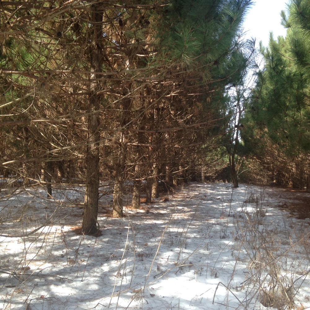 The probable future site of the mushroom yard, where the logs will be sheltered year round from the wind and sun.