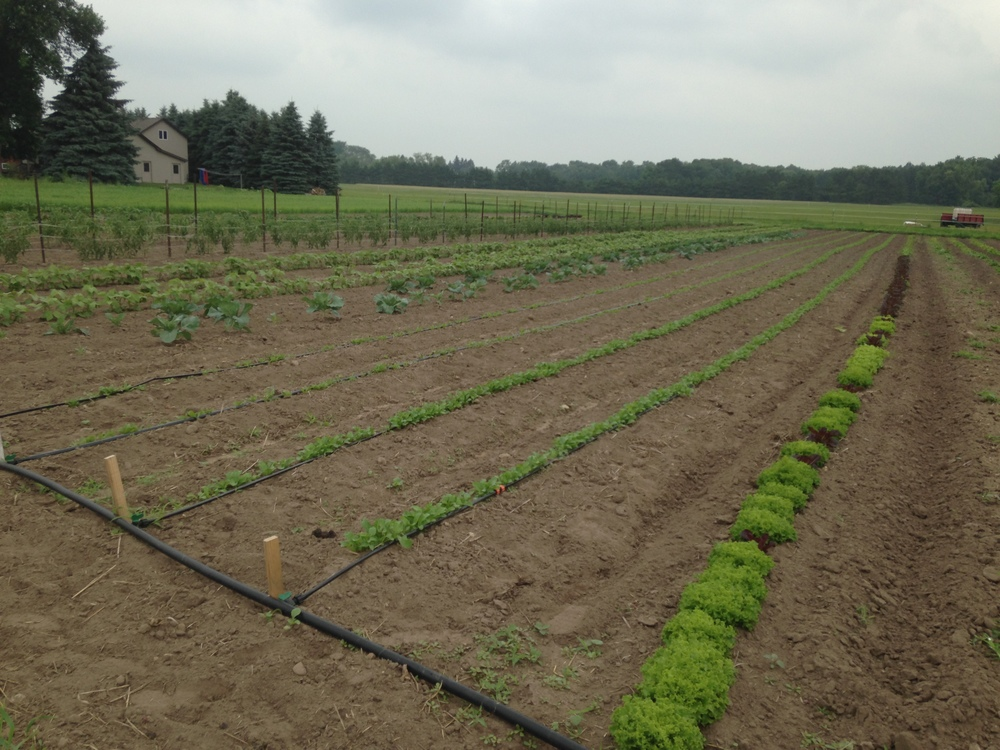 L to R, lettuce, arugula, spinach, cabbage, beans, tomatoes