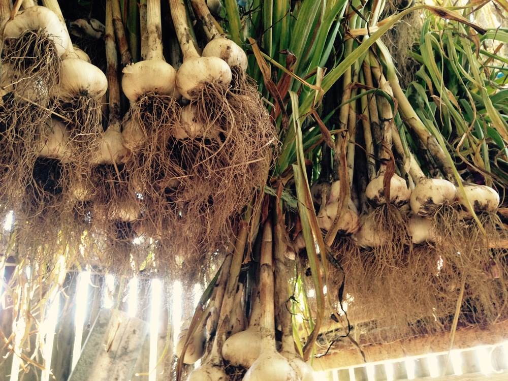 Some of my seed garlic hanging in the corncrib.