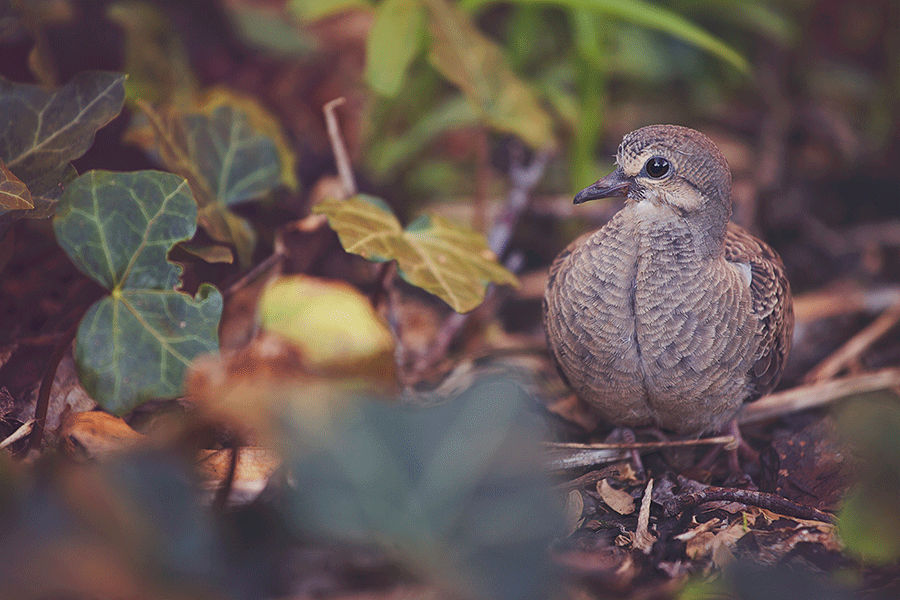 A young morning dove keeps an eye on me.