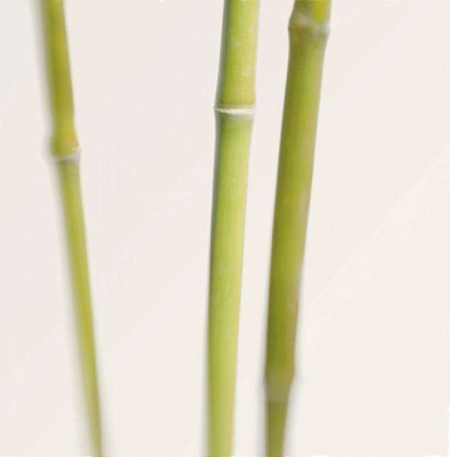 Bamboo Study 9