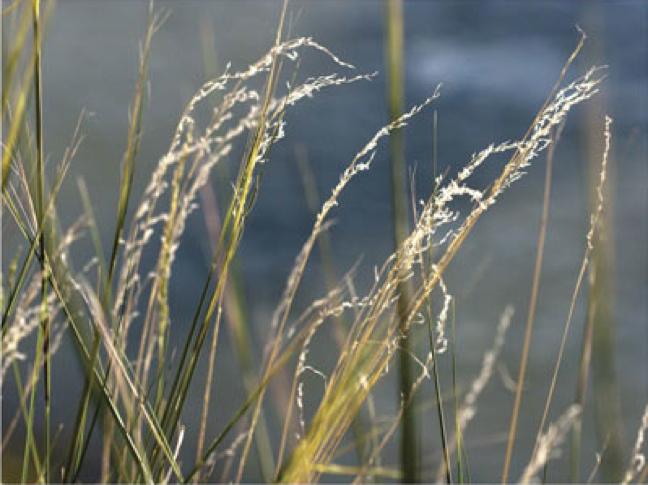 River Grasses 1