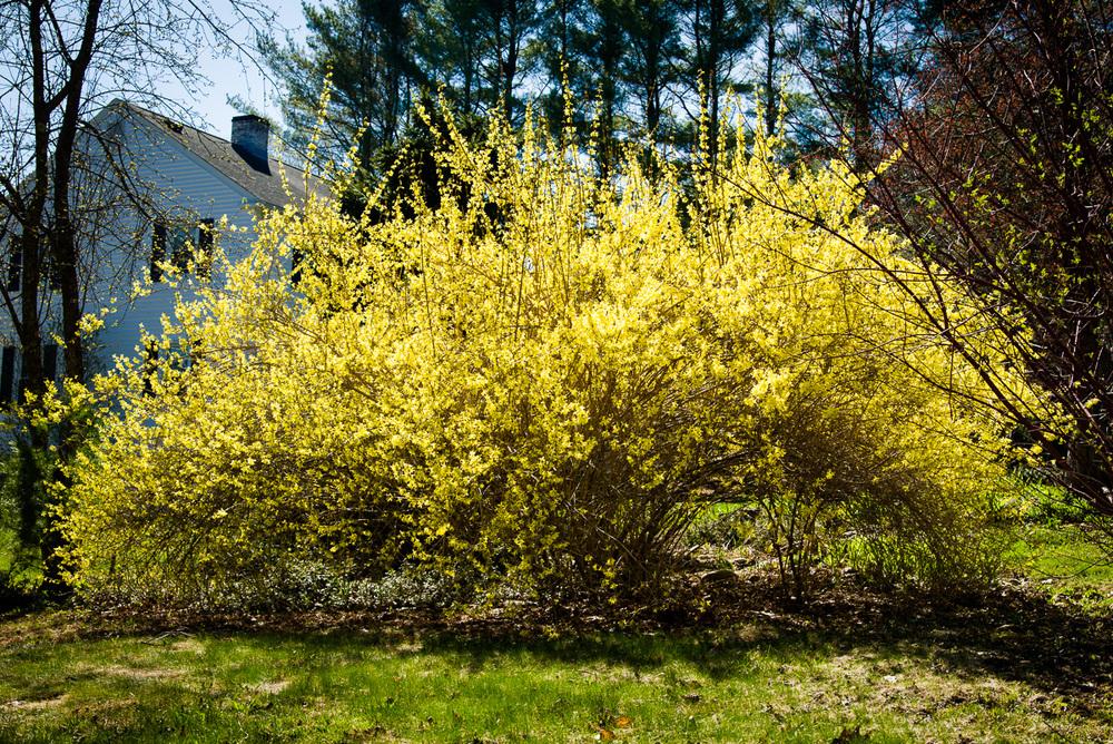 Glorious yellow in Cumberland, Maine