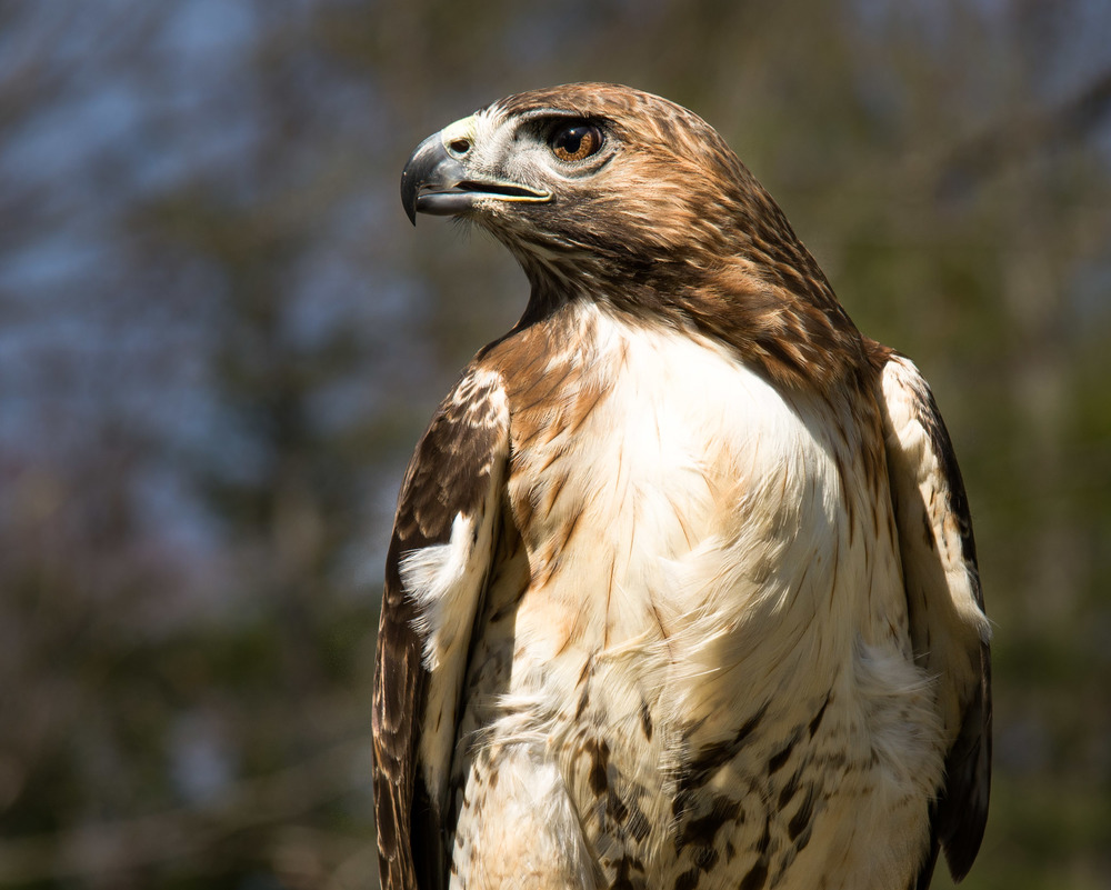 Female Red Tailed Hawk