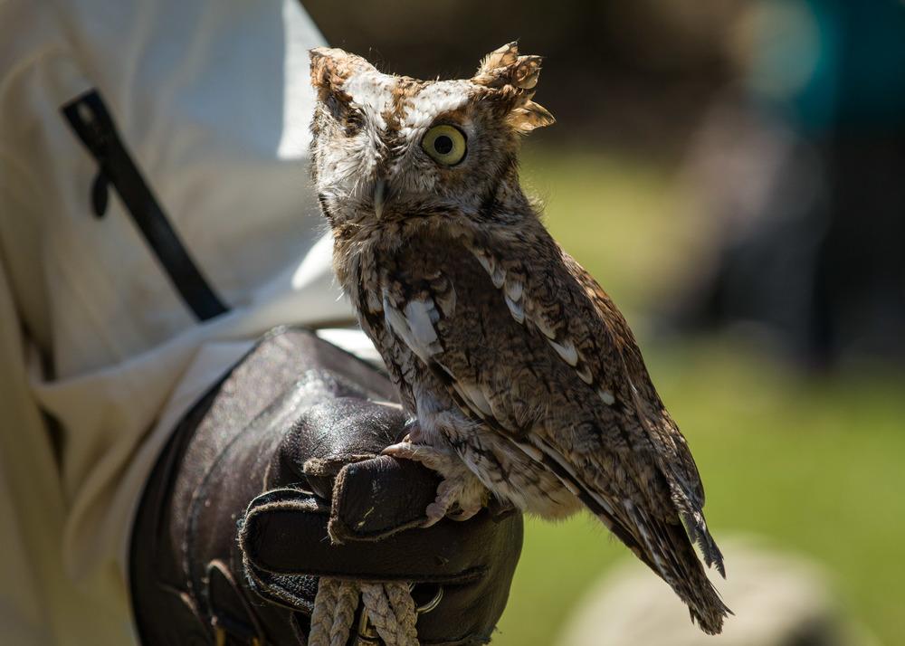 Eastern Screech Owl, Tansy