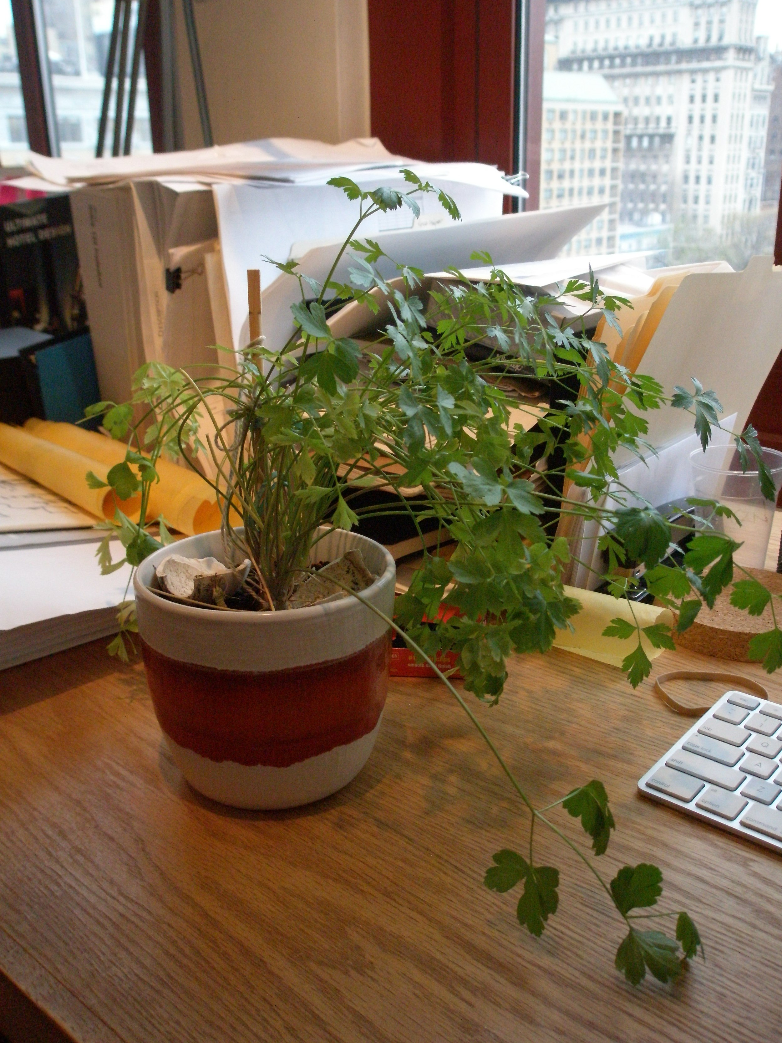 parsley pot