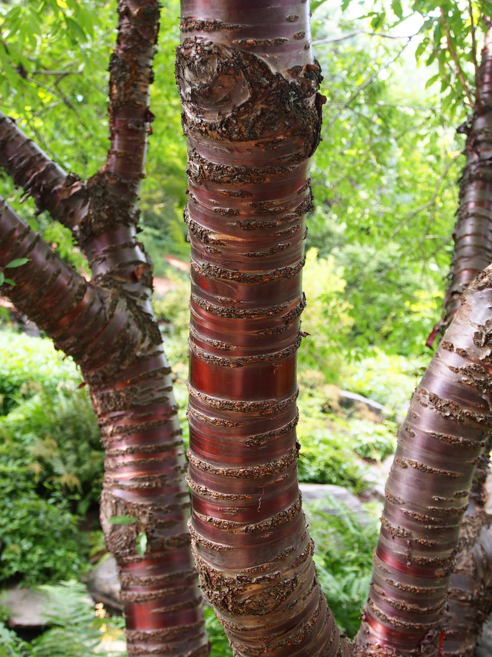 birch bark cherry.jpg