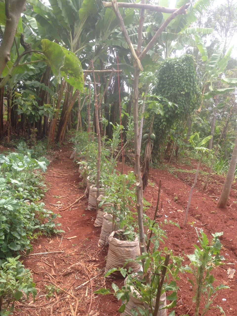 During a particularly hard season of blight, Reuben began rescuing his plants one by one by carefully bagging unaffected soil in potato sacks. When his project was successful, he helped several others in his village to save their plants as well!