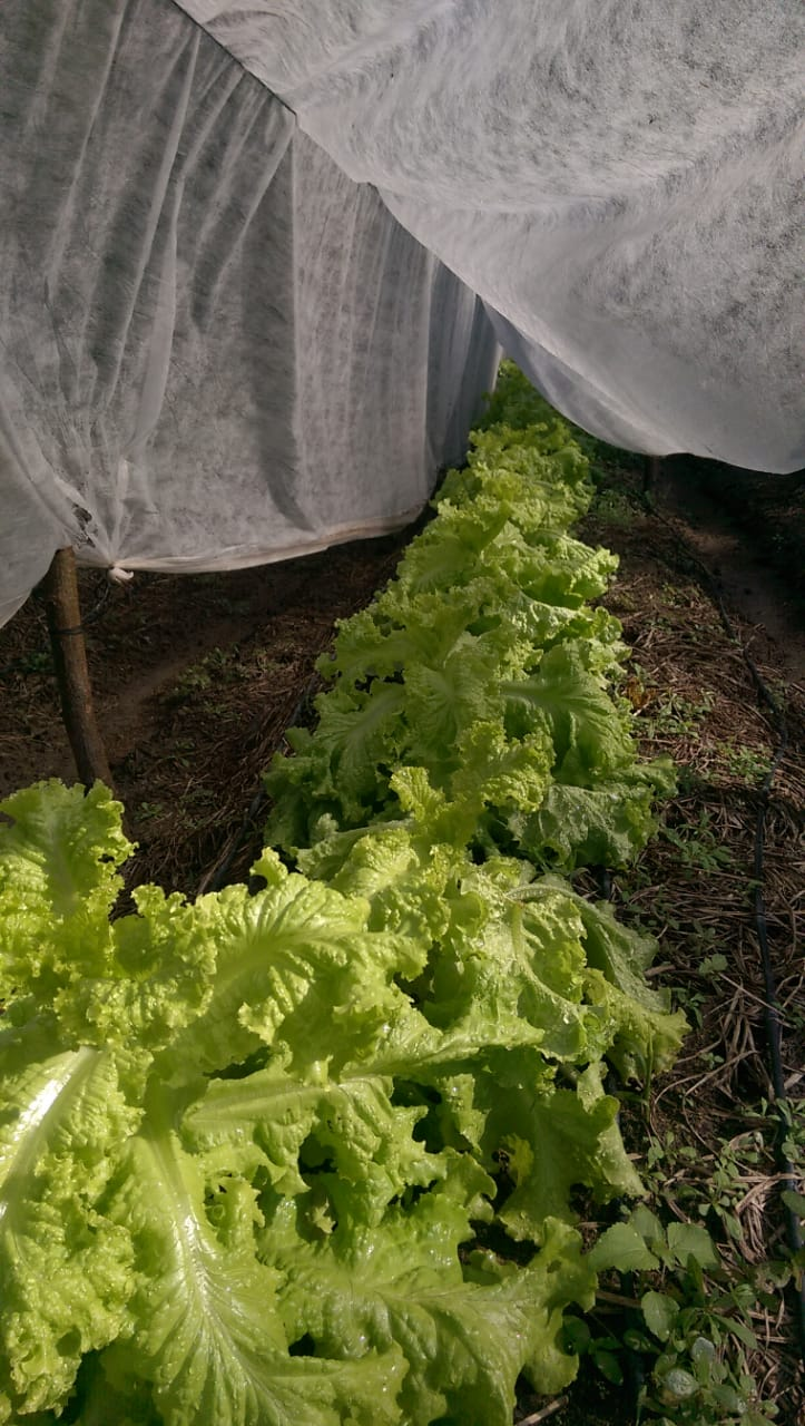 Using a cover cloth creates shade which protects plants from becoming overheated. Antonio is using it to cover this locally purchased variety of lettuce that he has grown from seed!