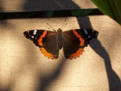 Butterflyopen_01