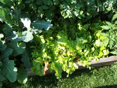 Lettuce_060510