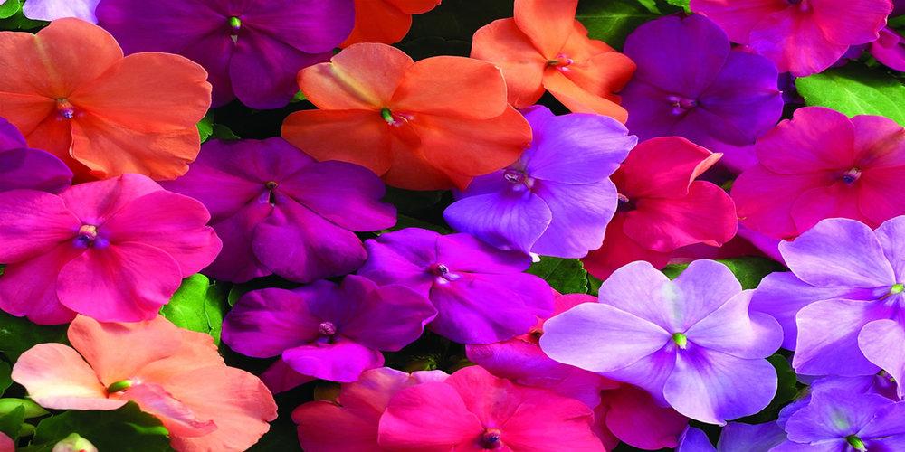 annuals-impatients-closeup-1200x600.jpg