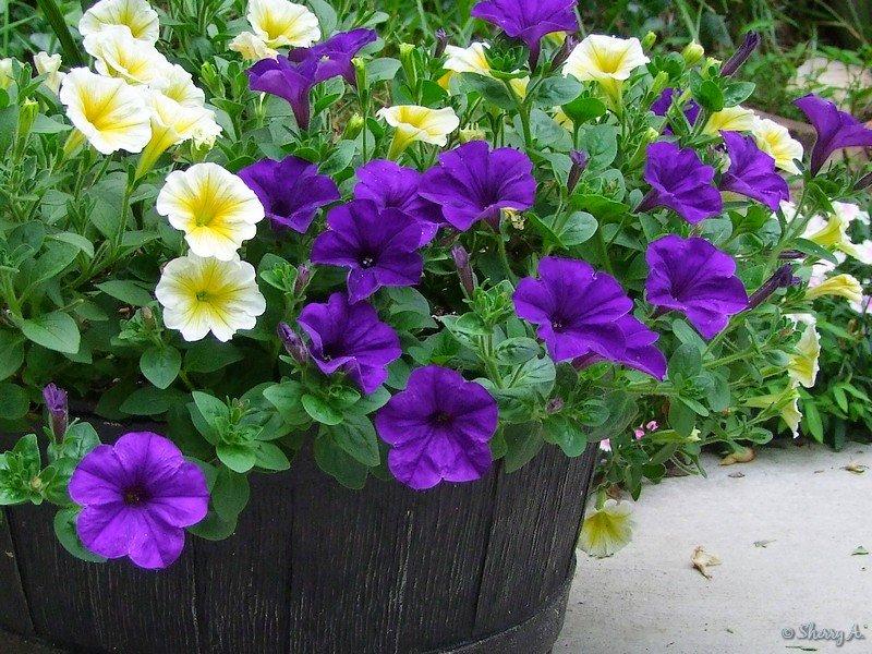 annuals-petunia.jpg