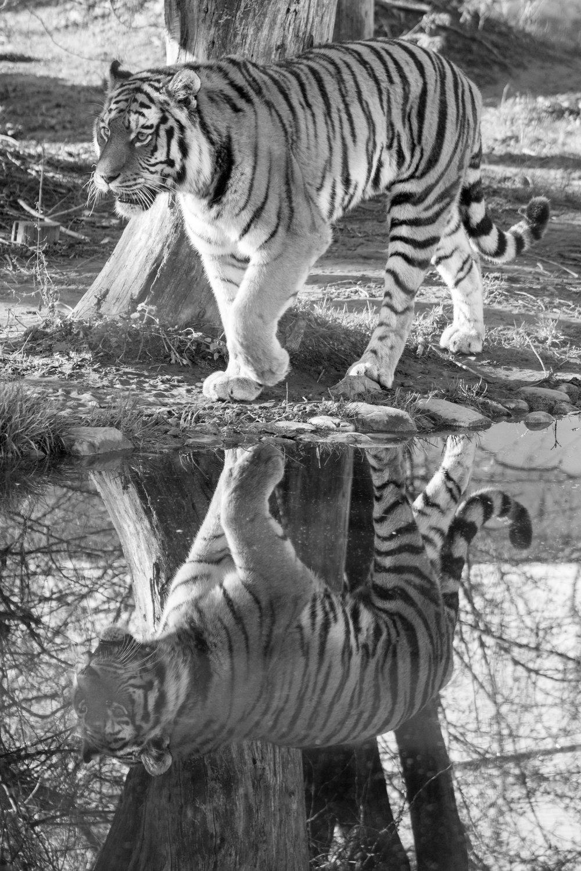 20190108_20151228_0001_Tiger-2.jpg