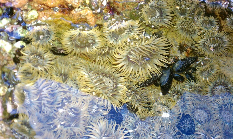 These are some sea anemones near my house.