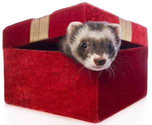 a cute sable ferret sticking head out of red velvet gift box