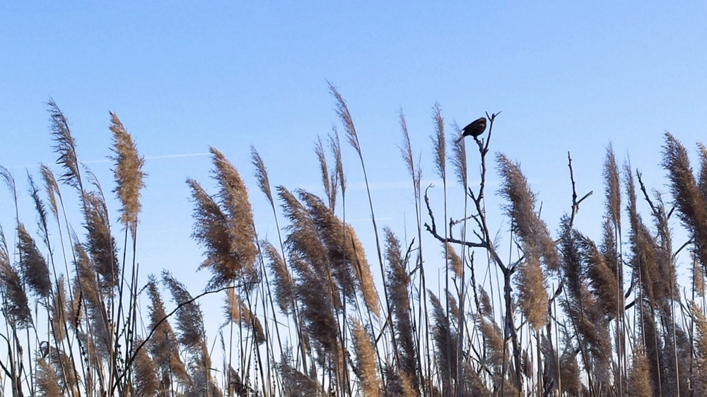 Image: Red wing blackbird among fall grasses, in front of a blue sky