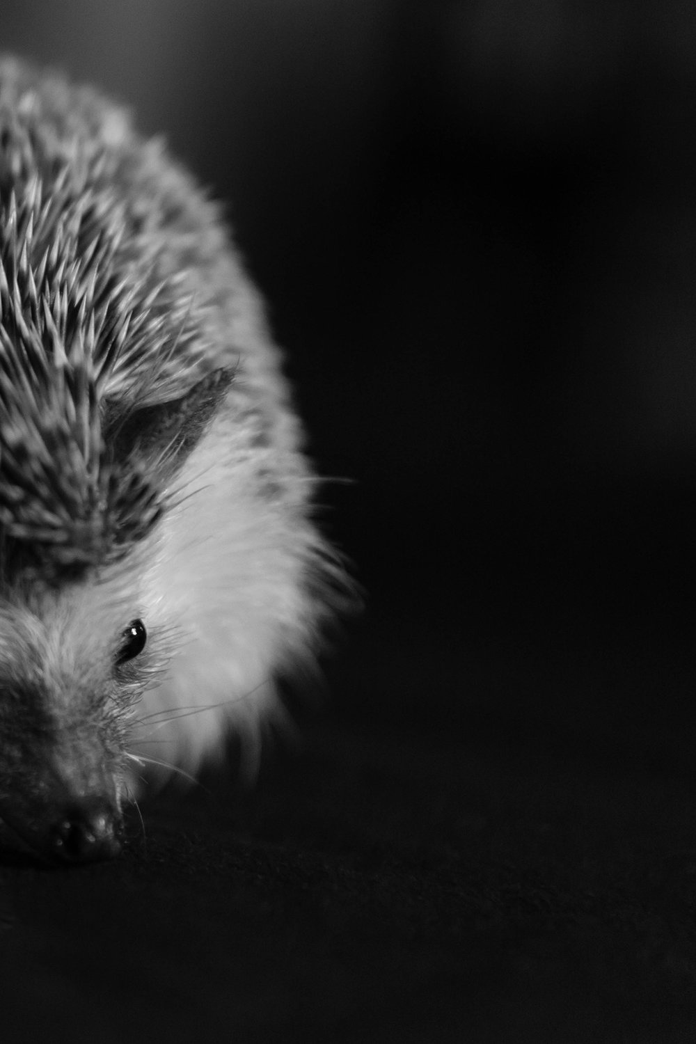 pygmy hedgehog london