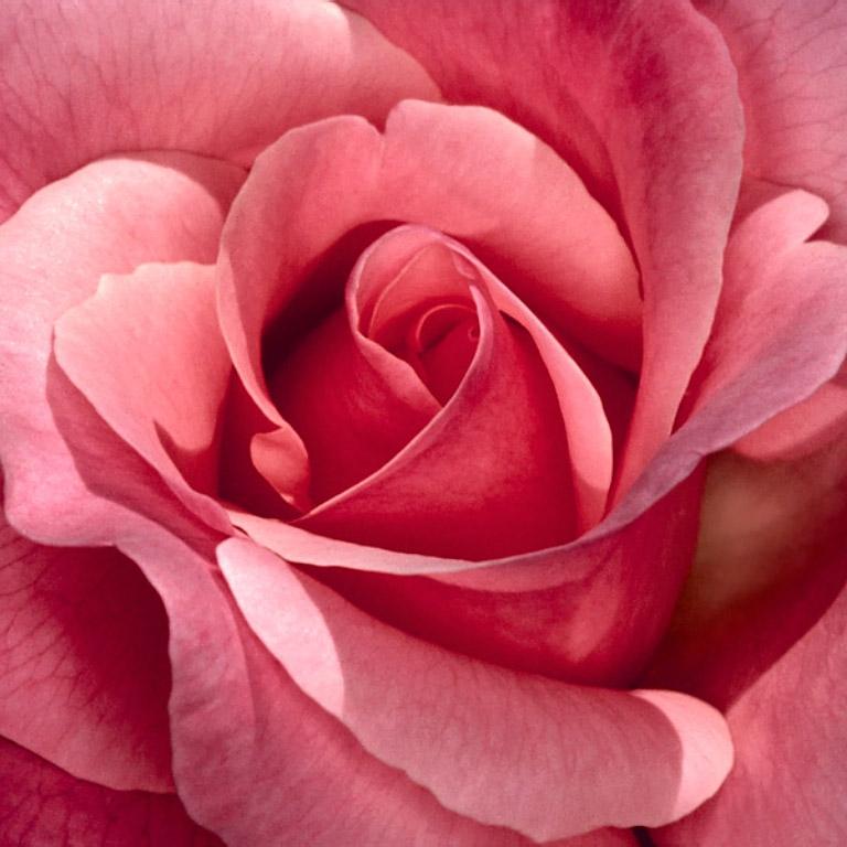 Pretty-in-Pink-Rose.jpg