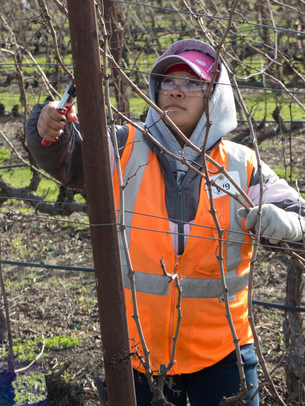 Napa Valley Grape Grower 2014 Pruning Award Winner  Maria Romero  of Walsh Vineyards Management prunes a vine with precise quality.