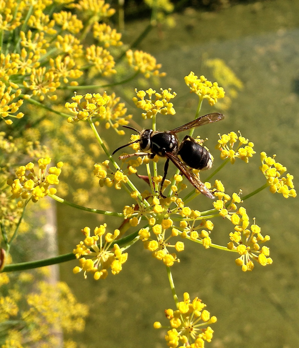 Baldfaced hornet feeding on fennel.
