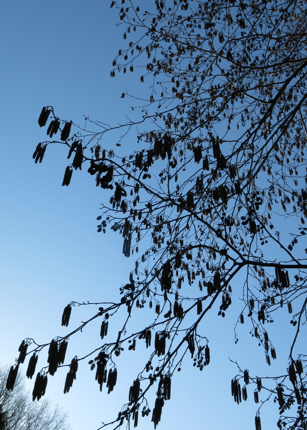 Late winter catkins of  Alnus glutinosa,  blowing in the wind.