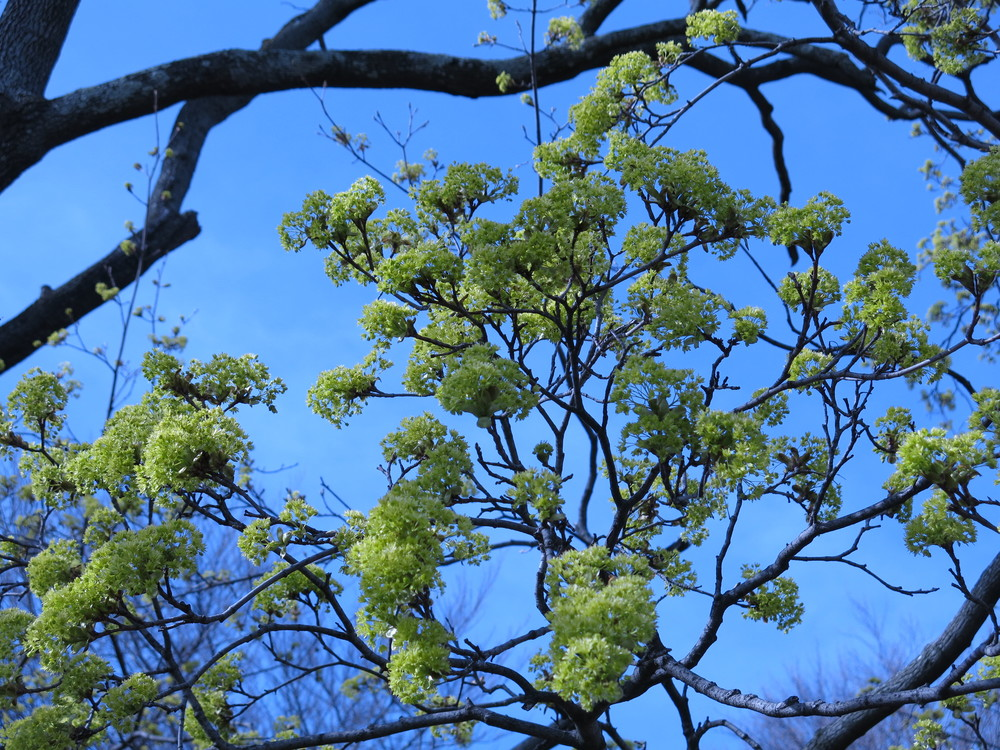 Fraxinus americana  or the white ash in full bloom, buzzing with bumble bee activity!