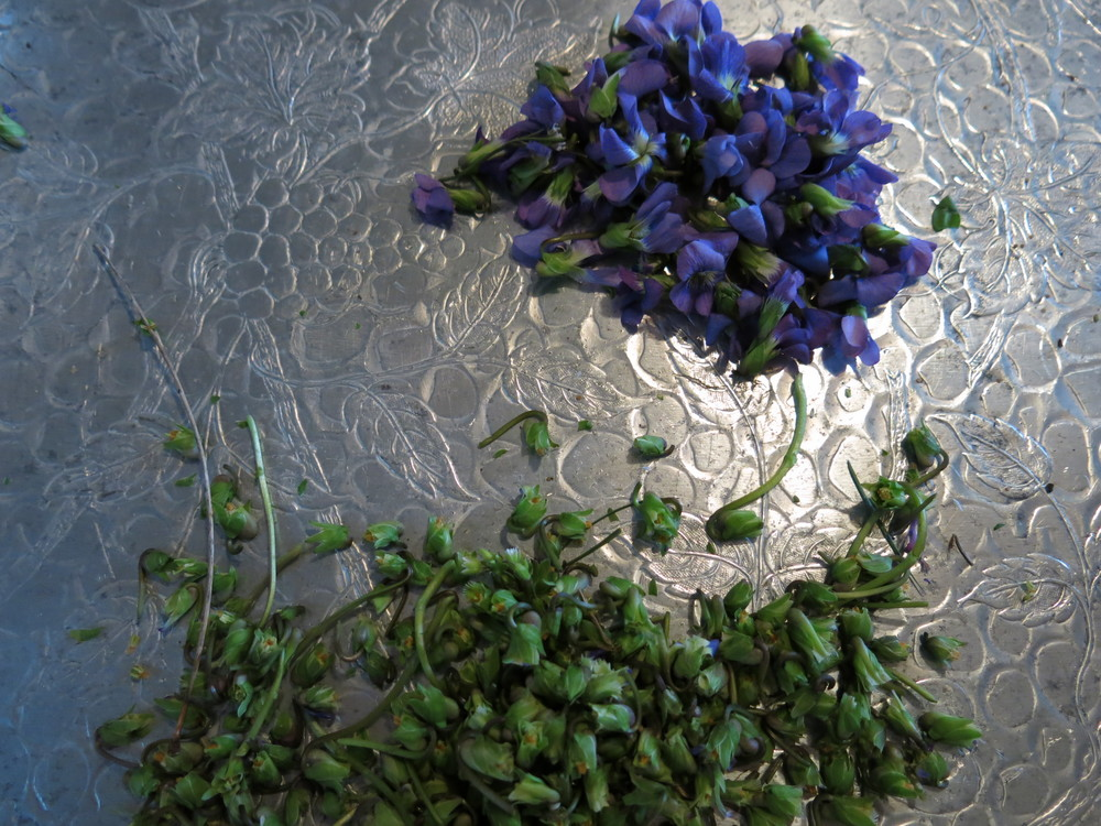 Cleaning violet flowers, necessary for making syrup.